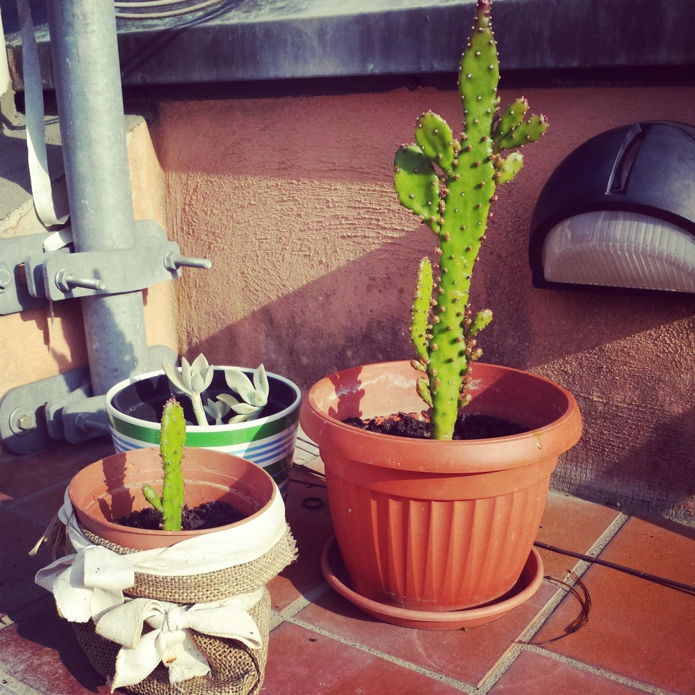Cactus plants on my balcony