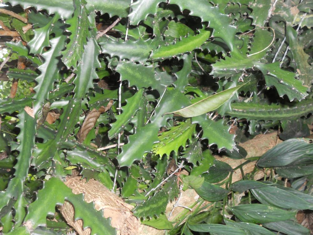 Cuba Cactus